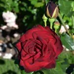 Rose Garden's Darkest Color Rose Ink Spot