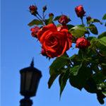 International Rose Test Garden in Portland OR