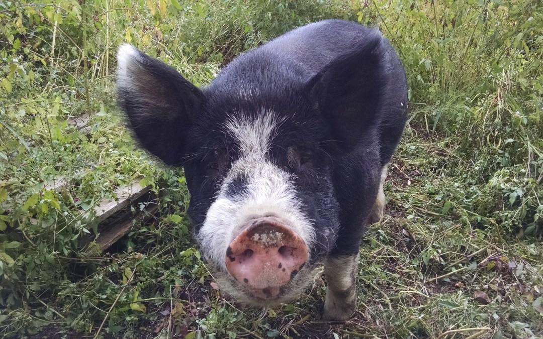 R.I.P. Pig Floyd
