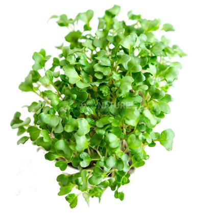 radish microgreen