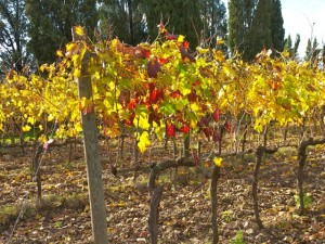 Sangiovese grape vines proliferate throughout central Tuscany.
