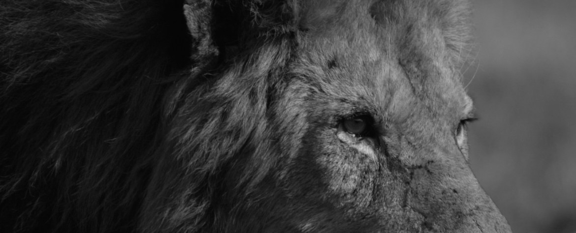 Blood Lions: The Truth Behind Conservation Parks That Offer Lion Walks + Cub Petting