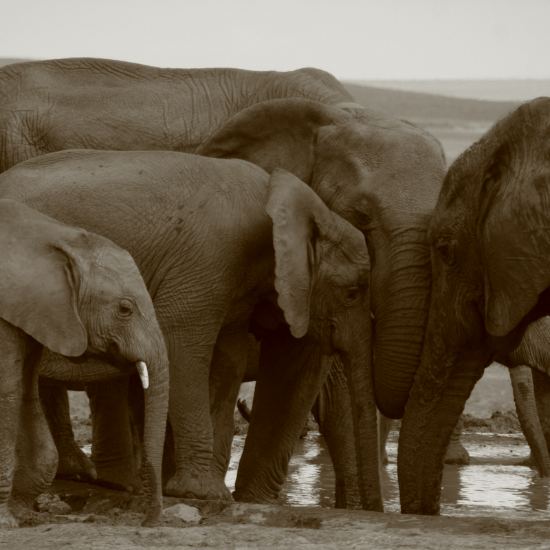 Elephants And The Ivory Trade