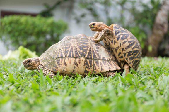 Ayurveda_Garden_Schildkröten