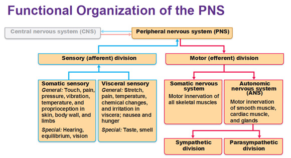functional-organization-of-peripheral-nervous-system ...
