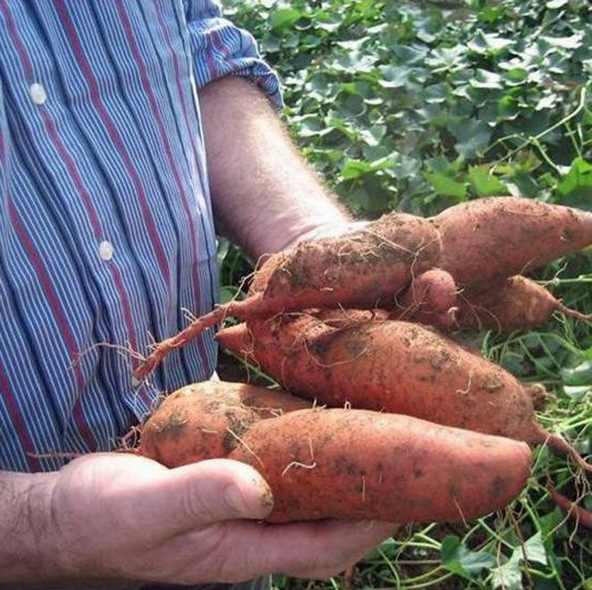 Freshly harvested sweet potatoes