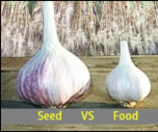 seed vs. culinary