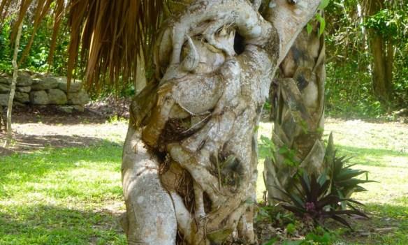 Tree at Chacchoben Mayan Ruins