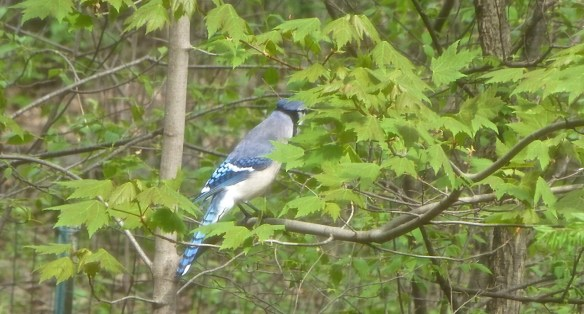 Minnesota Blue Jay
