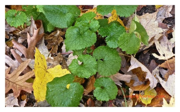 First Year Garlic Mustard Plant