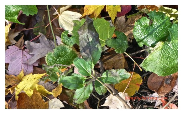 Young Buckthorn Plant