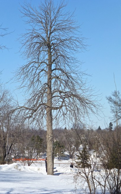 Tree - Minnesota Winter