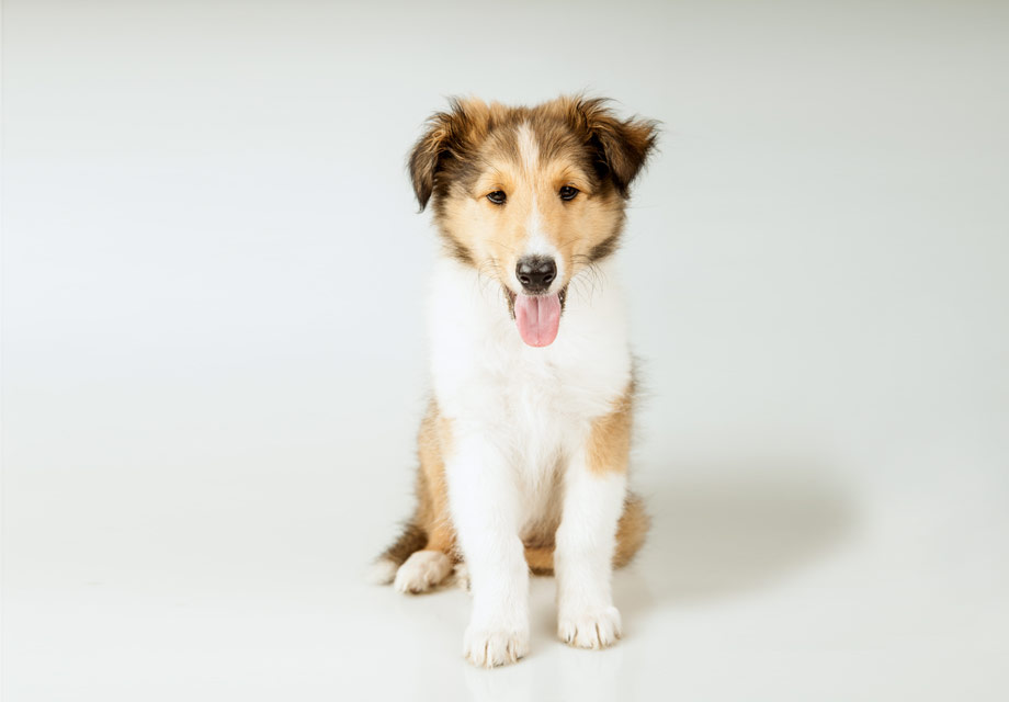 Collie Breeders United States - Simply Pets