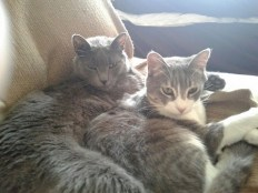 Russian Blue cat, Grady, with rescue tabby cat, Nemo