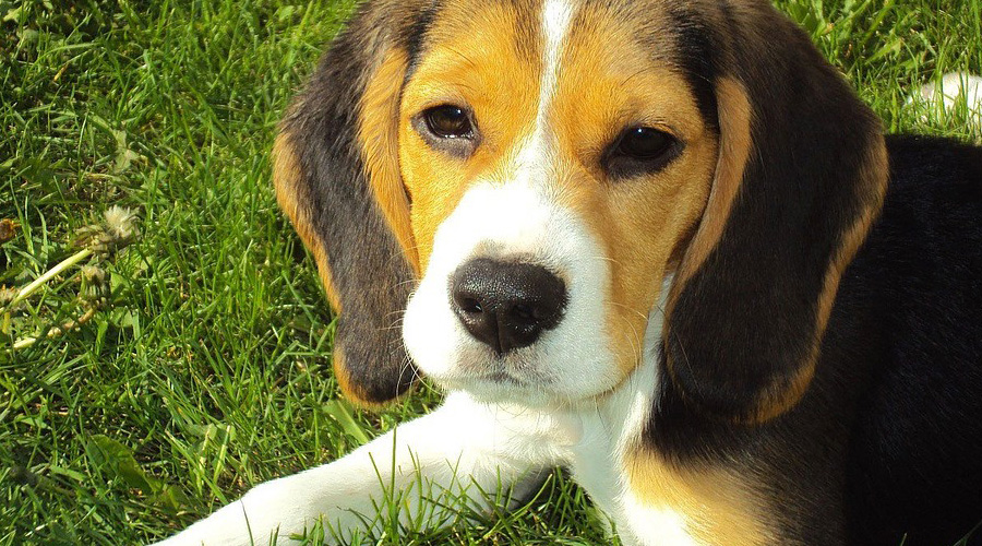 CBD Oil for Beagles