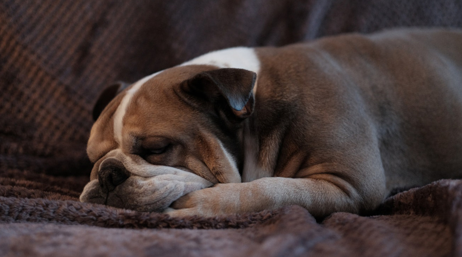 CBD Oil for English Bulldogs