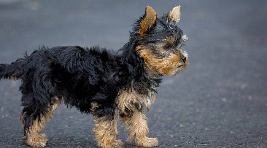CBD Oil for Yorkshire Terriers