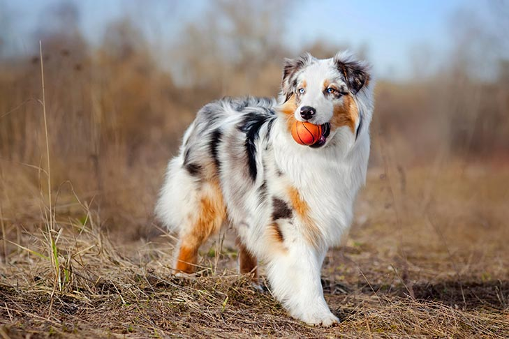 Australian Shepherd Dogs and Puppies [GUIDE] Dog Breed Information