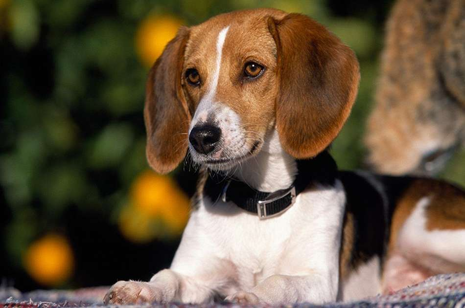 American Fox Hound Colors