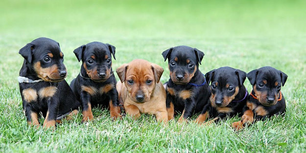 Miniature Pinscher Dogs And Puppies Guide Dog Breed Information