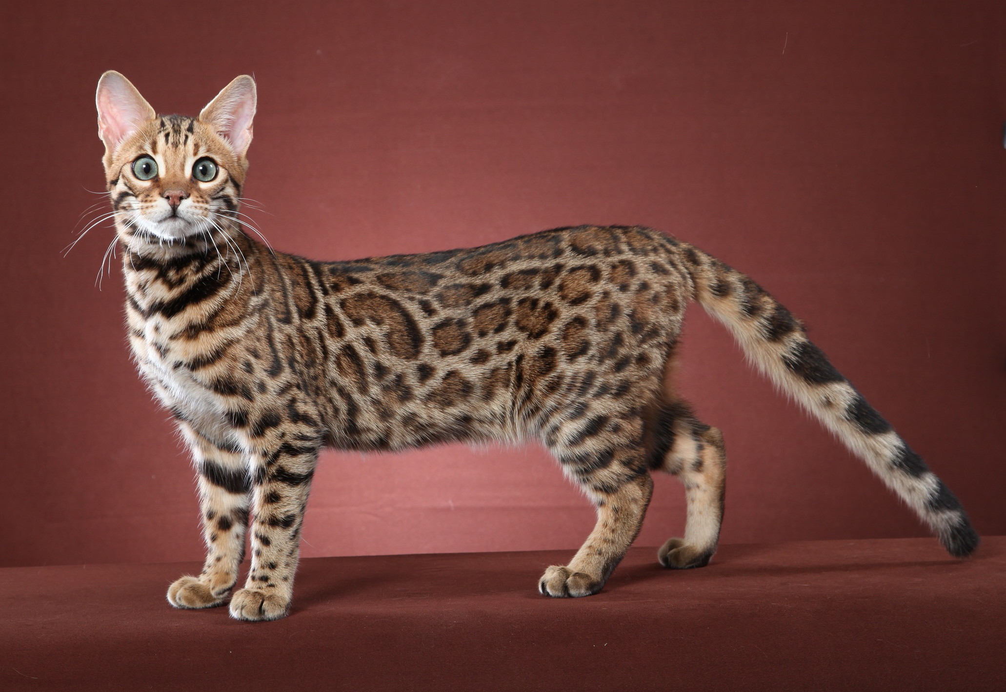 F2] Bengal Cat & Kittens [GUIDE] Half For Sale Price & More