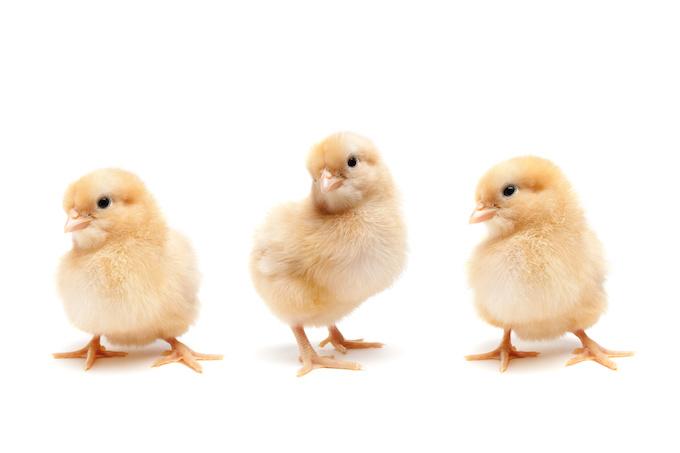 We got Chickens