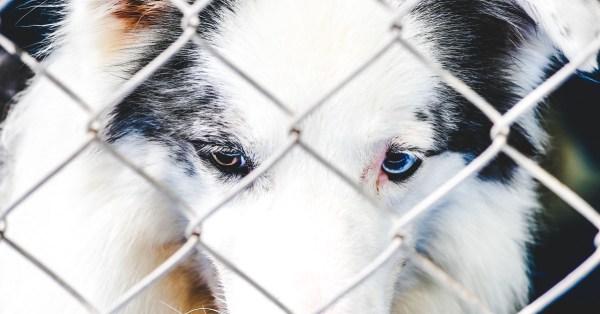 Australian Shepherd Behind a Chain Link Fence