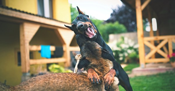 A Doberman Pinscher and Shepherd Dog Playing Outside
