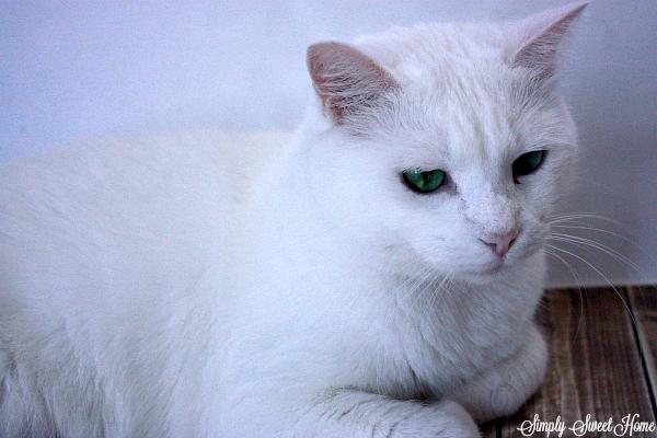 sugar-cat