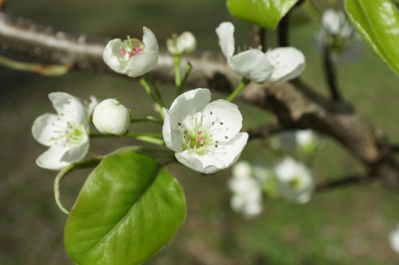 Wild pear blossoms.