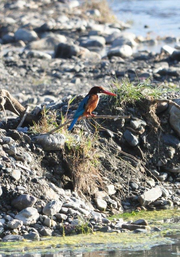 Corbett Kingfisher