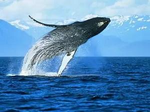 ¿Las ballenas se pueden tapar los oidos?