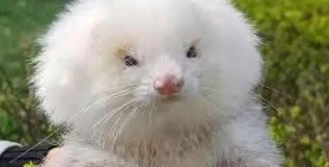 La Salada: Venden ratas como caniches toy