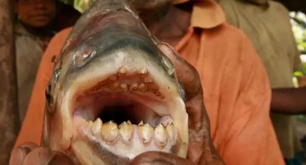 Pez con dientes de humano ataca a los testículos