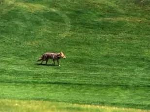 Coyotesinvaden el abierto de golf de Canadá