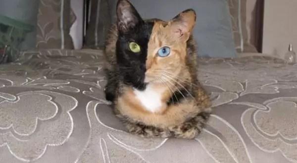 'Doble cara', el gato más espectacular que existe - Foto
