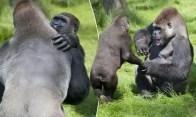 Fotos: Tierno reencuentro de dos hermanos gorilas