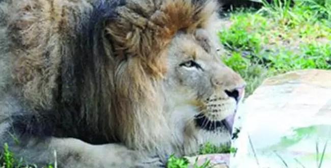 Tigres y leones toman helados debido a la ola de calor
