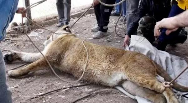 Matan a una leona que escapó del Parque Faunístico