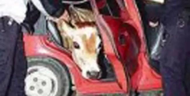 Hampones roban vaca y la esconden en un auto