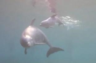 Video hermoso: El momento exacto del nacimiento de un delfín