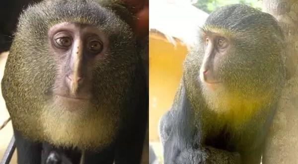 Hallan una nueva especie de mono