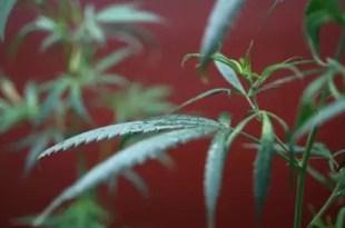 Ancianos cultivaban marihuana sin saber lo que era