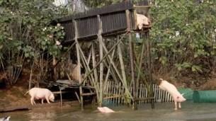 Crían cerdos 'nadadores' para una mejor carne - Fotos