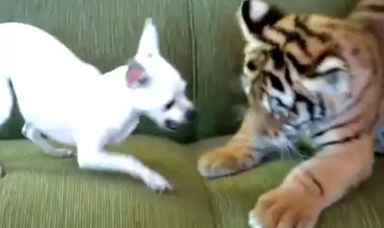 Video: Chihuahua y tigre se hacen grandes amigos