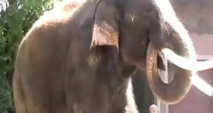 Video increíble: Conoce al elefante que habla en coreano
