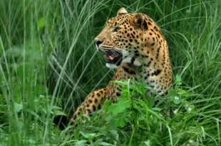 Un leopardo se comió a quince personas, entre ellos diez niños