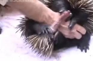 Video: oso hormiguero tiene pene con cuatro cabezas