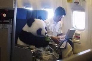 Foto: Oso panda vuela en clase 'business'