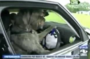 Video insólito: Perros aprenden a manejar